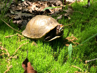 Not a Spring Chicken?  How about a Spring Turtle by Lowe